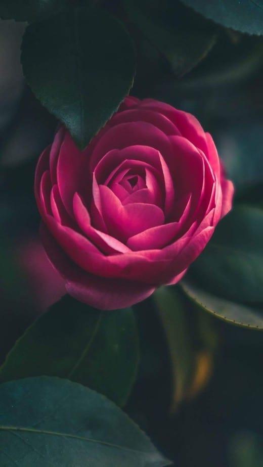 rose wallpaper iphone red
