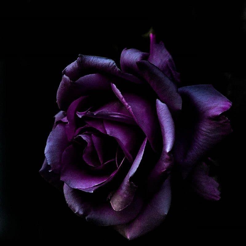 rose wallpaper iphone hd