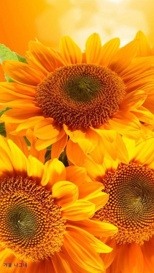 sunflower wallpaper iphone